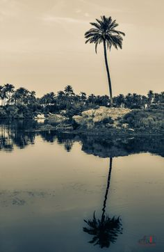 Reflection for Palm by Ali Khaled on 500px  #Iraq #Kufa #Palm #black_and_white #blackandwhite #canon #reflection #river