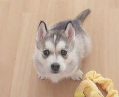 """มาดูความน่ารักของเจ้า """"วูฟฟี่"""" ลูกสุนัขพันธุ์ ไซบีเรียน ฮัสกี้ ที่แสนซุกซนตัวนี้กัน"""