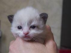 2013: Ikran A Zwollywood Cat. 2 Weeks old Ragdoll kitten, seal bicolour. Avatar litter.