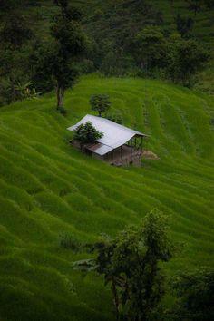 Paddy Field, West Sikkim