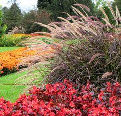 Fall Garden. Purple Fountain grass. Begonias. Chrysanthemums. Hershey Gardens.