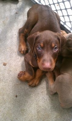 I have two dobermans one red and brown like this one and one that is black and rust