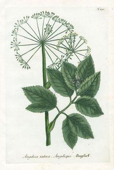 Angelica sativa (1111×1650)