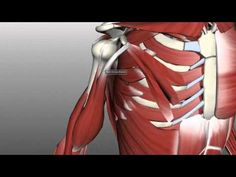 Muscles of the Upper Arm - Anatomy Tutorial - YouTube