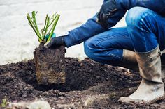 By following these simple steps, you will ensure your potted shrub rose gets off to the best possible start.