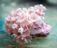 Xenia - uno dei coralli molli più conosciuti  ed amati tra gli appassinati di acquari marini tropicali