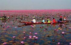 Lotus Lake in Um Chan, A Prachak, Udon Thani, Udon Thani, Thailand
