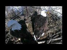 Decorah Iowa Live Eagle Cam