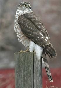 Cooper's Hawk-- we have a family of these amazing birds living in our back yard. They are astonishing to watch and don't seem to mind the noise from our 4 year old. #special