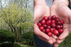 Temperate Climate Permaculture: Cornelian Cherry Cornus mas
