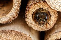 Nesting Mason Bee [5472x3648] [OC] - http://ift.tt/1X9xSXi
