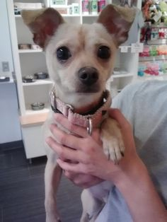 Buddy is a 2 1/2 year old Chihuahua with a big & animated personality. He is the first to greet all visitors & has a great flare for making friends, human & K9. PRECIOUS!     Questions? Call us at 310.441.1150  Buddy is available for adoption at L.A. Love & Leashes, located on the 1st floor of the Westside Pavilion mall at 10800 West Pico Blvd, Los Angeles, CA 90064. http://www.laloveandleashes.com/adopt/ pinned with Pinvolve - pinvolve.co