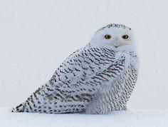 Snow Owl  at Presque Isle