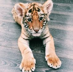 Tigers are my fav animals❤ hope I don't live to see the day they go extinct