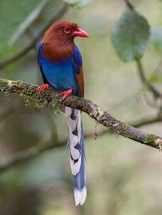 Sri Lanka Magpie  Spectacular