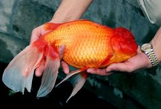 """A giant goldfish named """"Bruce"""", or more formally known as a Red Oranda, measuring 37.2 centimetres (.."""