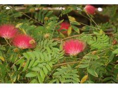 Arbre aux houppettes, 20/30 cm P9 - Calliandra tweedii : acheter en ligne sur Jardins Du Monde. Pépinière, jardinerie en ligne. Livraison partout en Europe