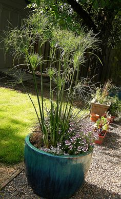 Beautiful trumpet and house on pinterest for Hearty ornamental grasses