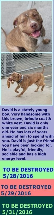 SAFE 5-31-2016 by All Breed Rescue, Vermont --- Brooklyn Center  My name is DAVID. My Animal ID # is A1073736. I am a male br brindle and white am pit bull ter mix. The shelter thinks I am about 1 YEAR 6 MONTHS old.  I came in the shelter as a STRAY on 05/14/2016 from NY 11208, owner surrender reason stated was STRAY. http://nycdogs.urgentpodr.org/2016/05/david-a1073736/