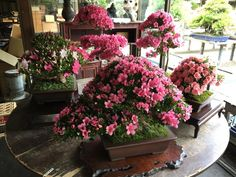 Amazing! Several Azalea Bonsai trees in full bloom, photo by Hiroyuki Suzuki. This species is included in our book: www.bonsaiempire.com/bonsai-ebook #bonsai #flowers #nature