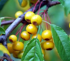 Tibetan crabapple - Malus transitoria - Golden Raindrops