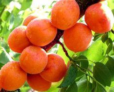 Morela Early Orange START PACK