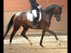 2010 Westfalian mare by Fürst Fugger 16.2 hh 2nd level won for sale