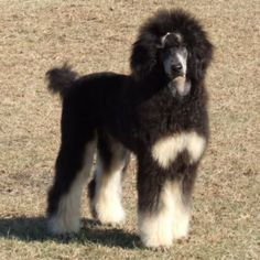 phantom poodle pictures | Standard Phantom Poodle | Dogs