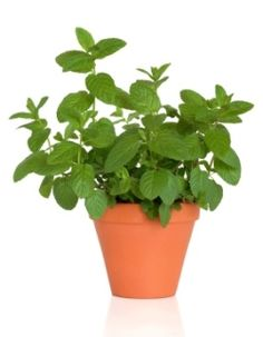 Growing Mint Plant Indoors: How to Grow Mint Herb  repel ants, aphids, cabbage lopers, flea beetles, cabbage worms, squash bugs and white flies