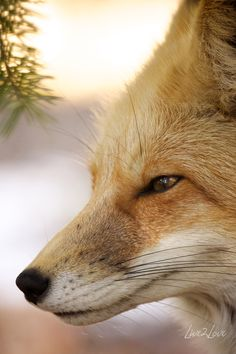 Red Fox photo by Anealio Westfall.
