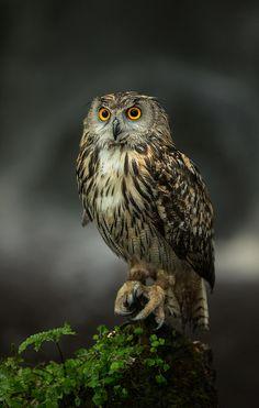 Fudge, European Eagle Owl (Bubo bubo) by matt cattell is engaged :) :) :), via Flickr