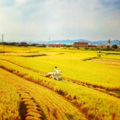 Golden rice fields in Matsuyama, Ehime prefecture (Photo by natora) Golden Rice, Ehime, Agriculture, Places Ive Been, Fields, Country Roads, Japan, Instagram Posts, Outdoor