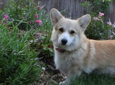 garden corgi...looks kinda a lot like skippy.