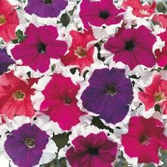 Petunia Frost Mixed F1 Mr Fothergill's Range Seed - Irish Plants Direct