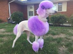 "Explore our internet site for more info on ""French poodle pups"". It is an exceptional spot to learn more. Dog Grooming Styles, Poodle Grooming, Pet Grooming, Poodle Mix Breeds, Poodle Cuts, Poodle Puppies, Lab Puppies, Dog Hair Dye, Poodle Haircut Styles"
