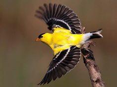 Week 2: Gold Finch