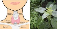 Voici 7 plantes pour tous les problèmes de thyroïde