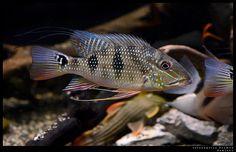 satanoperca | Satanoperca daemon Glass Aquarium, Tropical Aquarium, Aquarium Fish, South American Cichlids, Cichlid Fish, Tropical Freshwater Fish, New Tank, Angel Fish, Amphibians