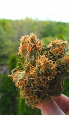 Beautiful buds - #marijuana #cannabis #maryjane