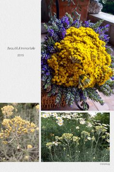 Helichrysum arenarium, Immortelle Mediteranska biljka iz porodice glavočika. Raste na sunčanim kamenjarima. Cvijeta od 6. Do 7. mjeseca. Zimzelena biljka, trajnica, sivih, dlakavih listova,  naraste oko 40 cm visine. Ljekovita biljka. Dobro podnosi sušu i visoke temperature pa je poželjna sadnja na sunčanu gredicu. Vazno je da tlo ima dovoljno kalcija. Primorsko smilje  prirodno raste u zemljama Sredozemlja (Cipar, Grčka, Hrvatska, Italija, Francuska, Španjolska, Alžir, Maroko), a…