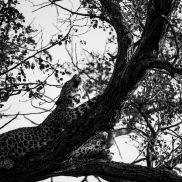 Tracking Instincts   krazywithtravel African Wild. Sabi Sand. Kruger National Park. Leopard