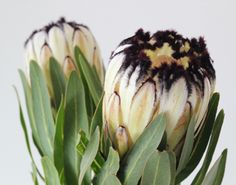 black and white mink protea is a funky flower. Not overly floral Protea Art, Protea Flower, Lush, Garden Painting, Arte Floral, Planting Flowers, Flowers Garden, Spring Flowers, Native Plants
