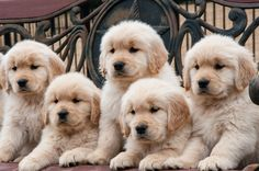 Adorable Golden Retriever Puppies - cuteness can kill!! <3 #puppy #pups #goldenpups #goldenretriever