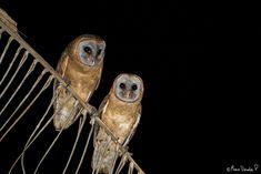 Ashy-faced Owl (Tyto glaucops)