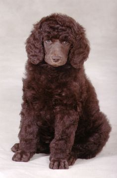Human like eyes. Thats why POODLES Rock...They see into your soul!