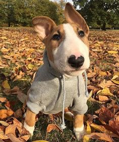Uplifting So You Want A American Pit Bull Terrier Ideas. Fabulous So You Want A American Pit Bull Terrier Ideas. Tattoo Bull Terrier, Chien Bull Terrier, Mini Bull Terriers, Miniature Bull Terrier, English Bull Terriers, Pitbull Terrier, Terrier Dogs, Animals And Pets, Funny Animals