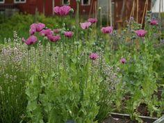 Summerhouse kitchen garden. Poppy invation... Møll, July 22nd 2012