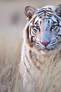Top 5 Cute White Bengal Tiger