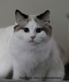 Alice  ragdoll cat