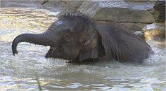 saint louis zoo elephants - Google Search